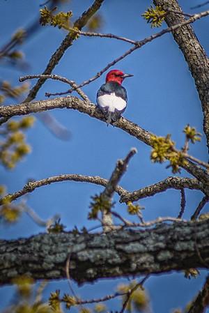 Willmore Lodge Woodpecker