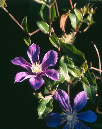 Clematis 'Arabella'