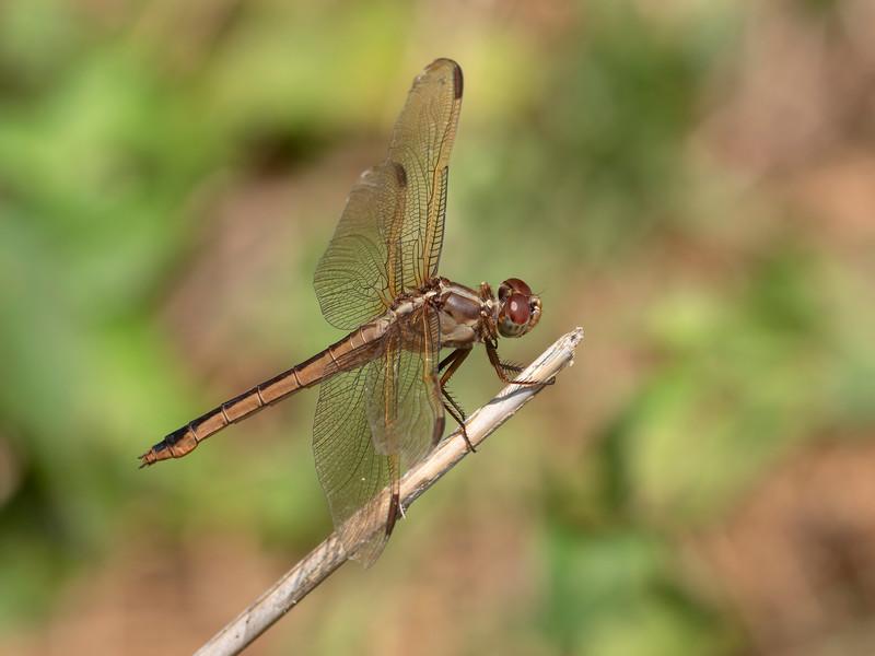 Needham's Skimmer (Libellula needhami), female
