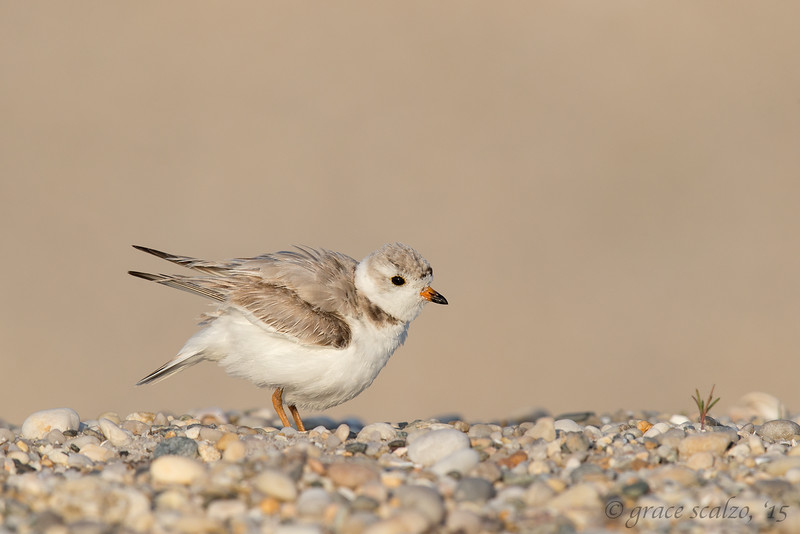 Piping Plover Fluffing
