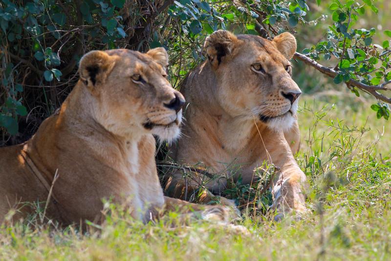 Lion  Serengeti NP Tanzania  2014 07 09-4.JPG (2 of 4).JPG