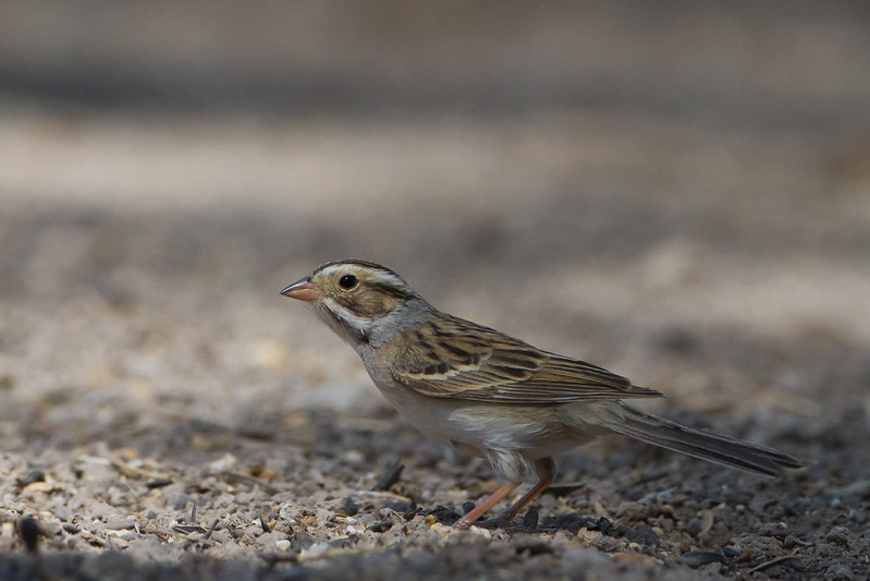 Clay-colored Sparrow - San Pedro House, Sierra Vista, AZ, USA