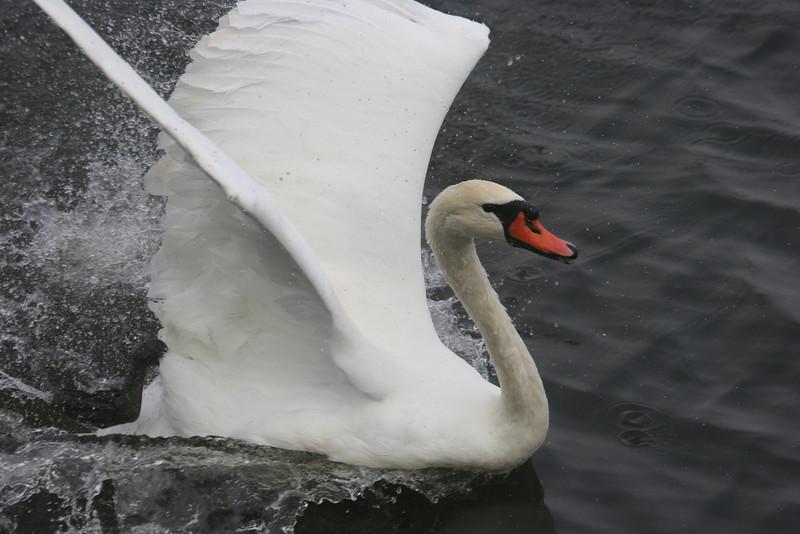 mute swan at Lake Junaluska, NC