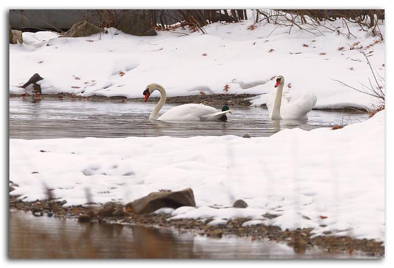 Snow Swans wTC-14E.jpg