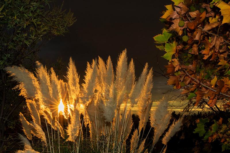 Pampas Grass Sunrise