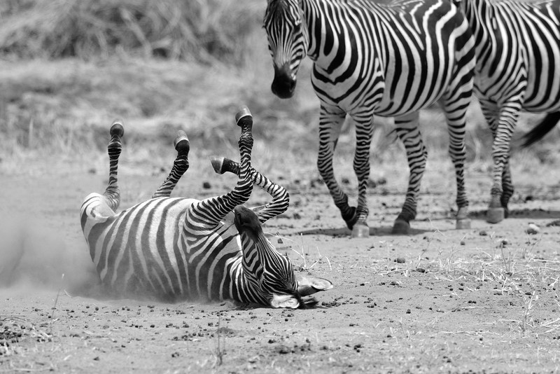 Zebra-rolling-on-the-ground.jpg