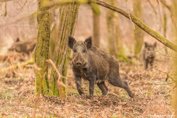 Wild Boar - Set 8