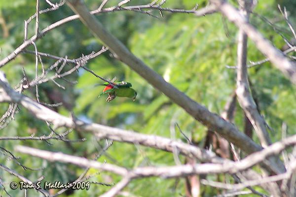 Philippine Hanging Parrot (Colasisi)
