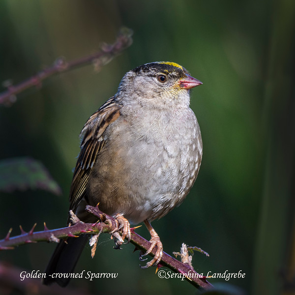 _DSC4961Golden Crown Sparrow.jpg