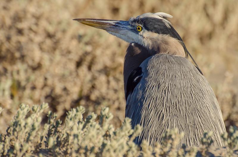 Great blue heron at Ellwood Mesa in Goleta, CA.
