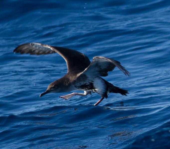 Black-vented Shearwater  San Diego Waters 2015 01 01-1.CR2