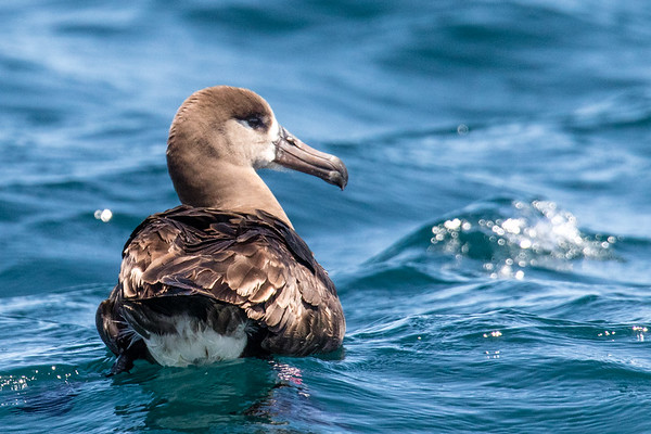 Albatrosses, Shearwaters, & Petrels
