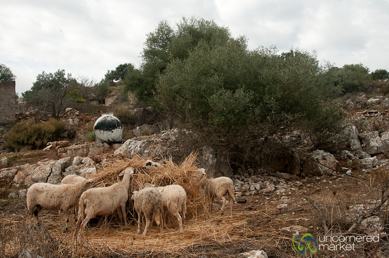 Sheeps Feeding on Crete, Greece