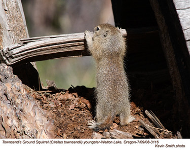 Townsend'sGroundSquirrelY3116.jpg