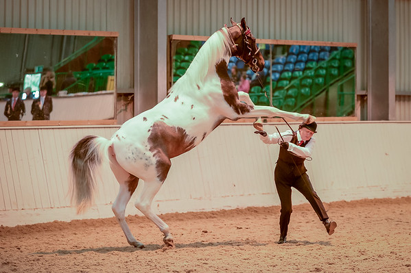 Class 14 (Part Saddlebreds - NSH)