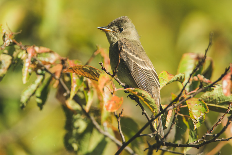 An Eastern Wood-Pewee at the celery Bog in West Lafayette, Indiana