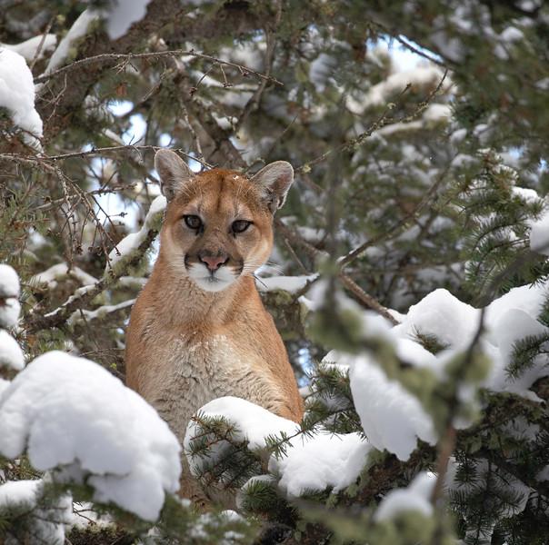 Mountain Lion female Dec 1 20.jpg