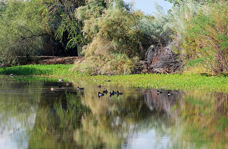 2016-11-24 751 Rio Salado wetlands ducks 1.JPG