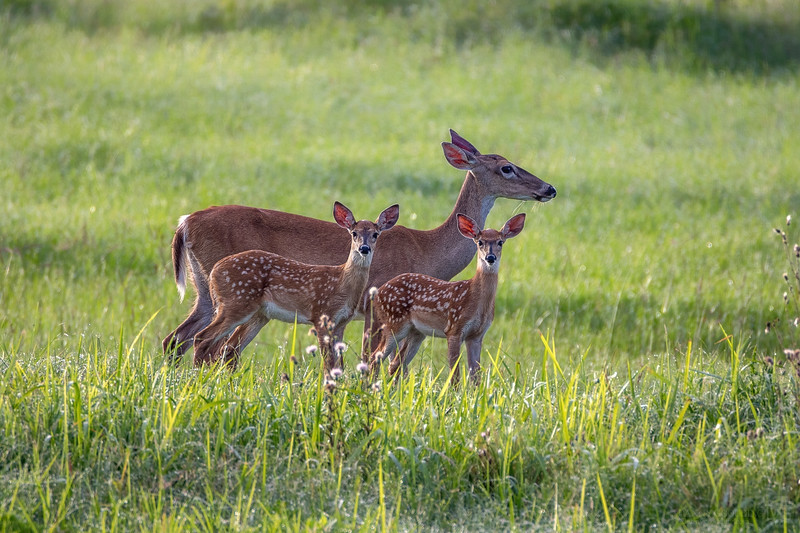 White-tailed deer mother and fawns