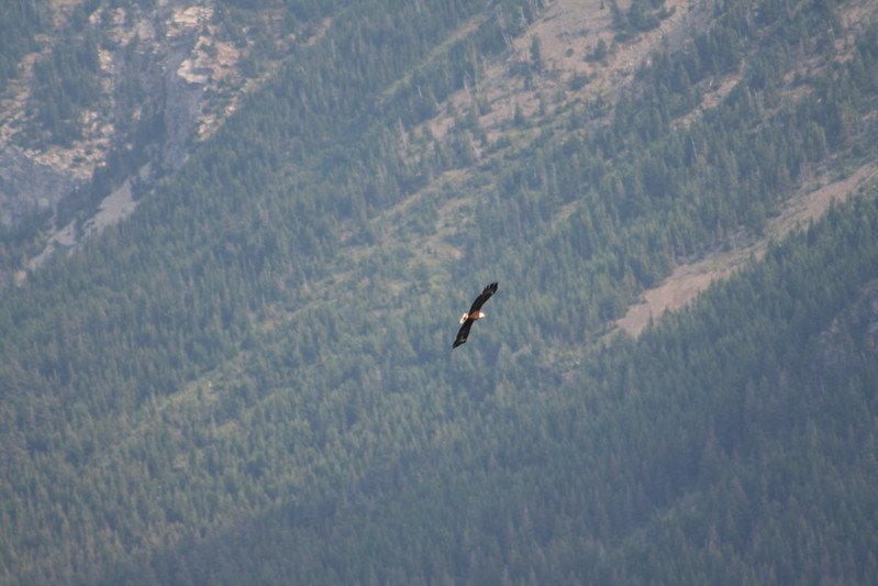 20110830 - 038 - WLNP - Eagle From Waterton Boat Cruise To Goat Haunt MT USA.JPG