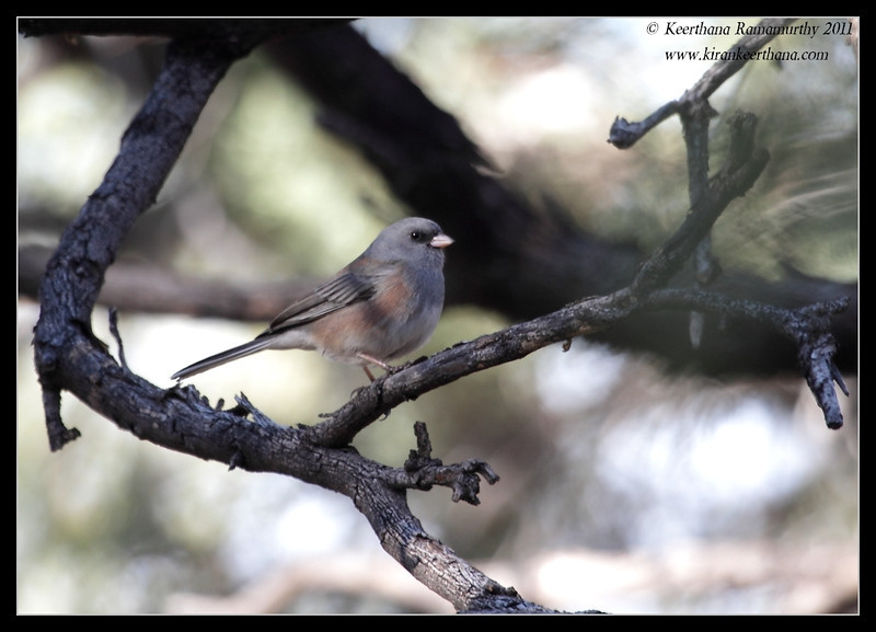 Slate-colored (Dark-eyed) Junco along the Proctor Road Trail, Madera Canyon, Arizona, November 2011