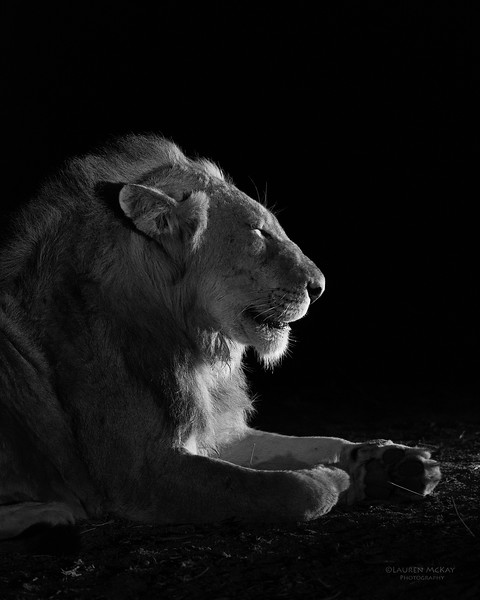 African Lion, b&w, Sabi Sands (EP), SA, Oct 2016-33.jpg