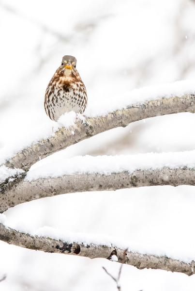 Fox Sparrow in snow October Skogstjarna Carlton County MN  IMGC7848.jpg