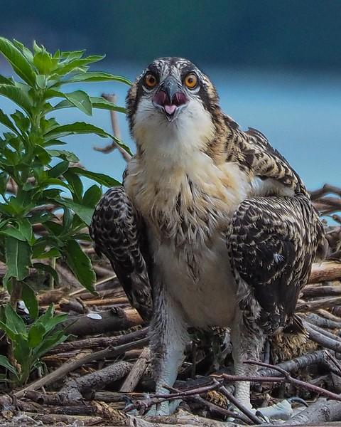 Osprey fledgeling