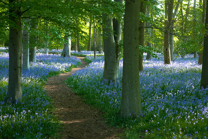 Bluebell wood path 1.jpg
