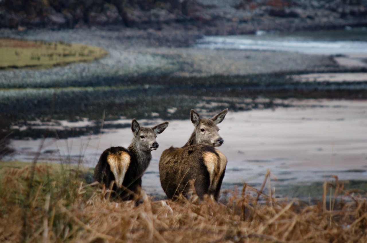 NC500 - Lochcarron - Deer at Gruinard Bay