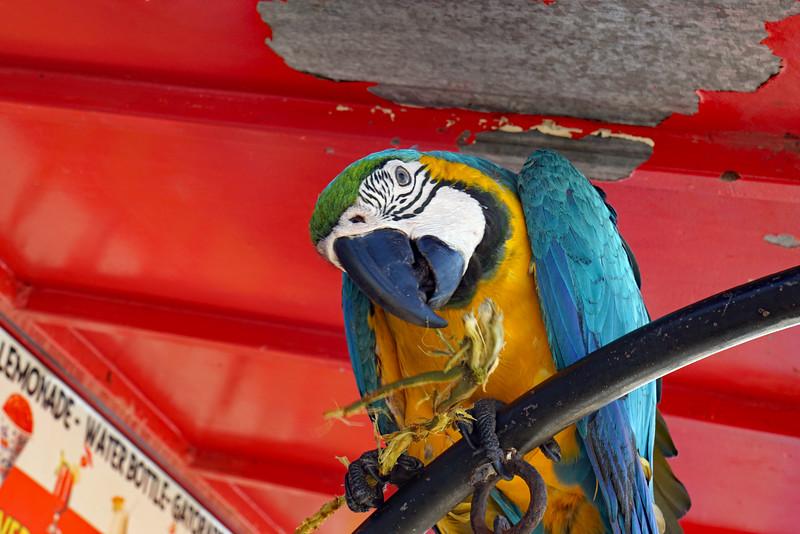 aruba parrot.jpg