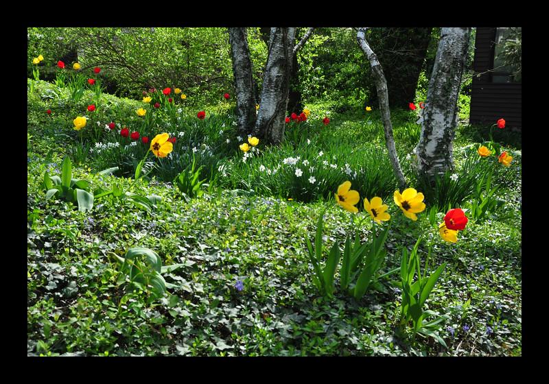 53. Springtime Tulips.JPG