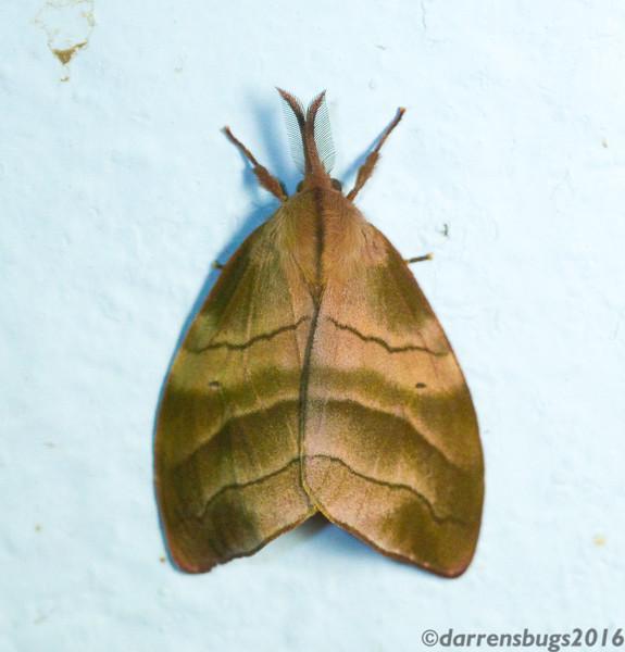 Erebid moth (Erebidae: Sarsina electa) from Monteverde, Costa Rica.