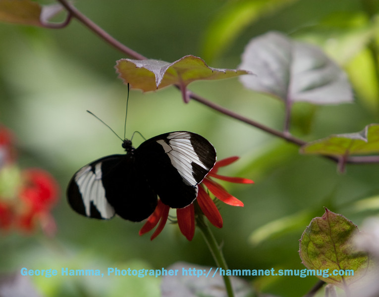 A sapho longwing at the flowers.
