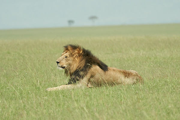 Lions Mara Kenya 2018