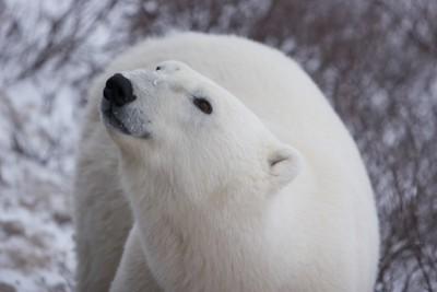 2006F Polar Bears