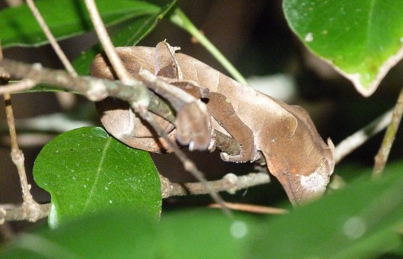 HPLeaf-tdGeckoUroplatusSikorae095 Nov. 9, 2010  12:36 a.m.  P1000095 Leaf-tailed Gecko, Uroplatus Sikorae National Park near Ranomafana
