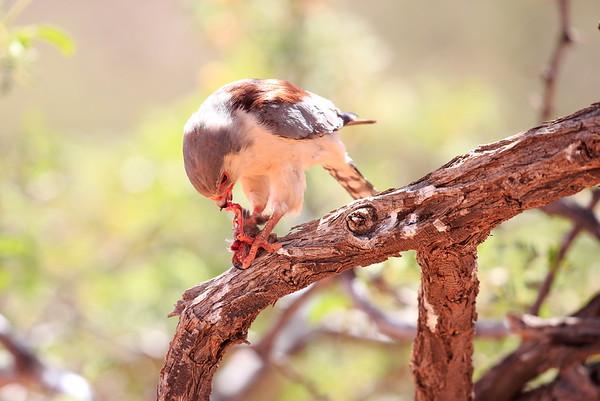 Pygmy Falcon Dining Tswalu South Africa 2016