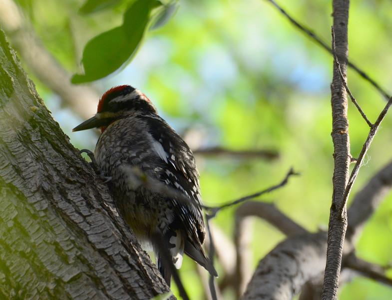 Red-naped Sapsucker - 4/18/2014 - San Pedro Riparian Conservation Area, Sierra Vista, Az