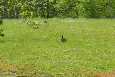 Canada Geese with family
