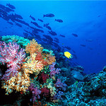 Soft corals and school of fish, Similan Islands
