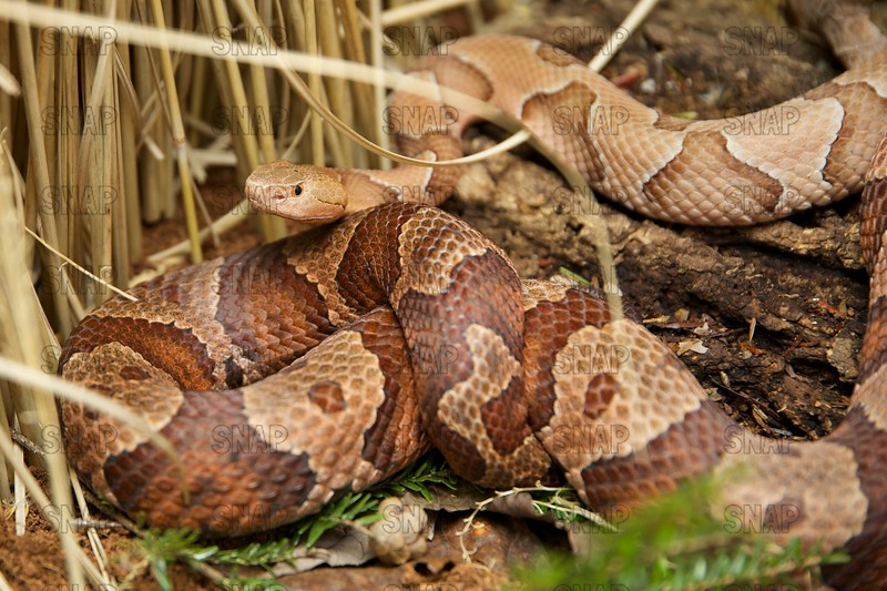 Northern & Southern Copperhead