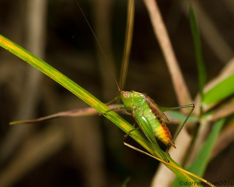 A male lesser meadow katydid (Conocephalinae: genus Conocephalus) cleans his hind leg. (Iowa, USA)