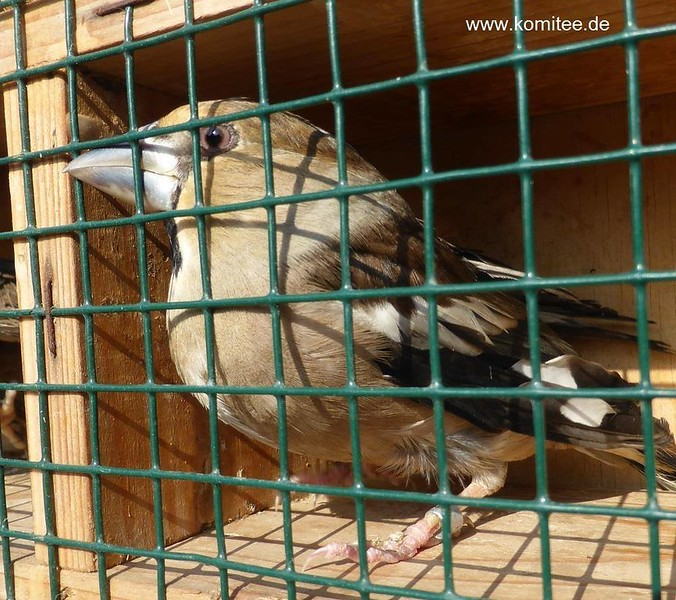 Malta allows song bird trapping. Despite international protest and the fact that the European Commission is to refer Malta to the European Court of Justice the trapping season for 7 species of finches opens today, 20 October. Trappers are allowed to catch Linnets, Greenfinches, Chaffinches, Serins, Goldfinches, Hawfinches (photo) and Siskins. A total of 32,200 birds can be trapped with clap nets from now until the end of December. CABS has called upon the EC to take immediate interim measures in order to stop this unsustainable and cruel practice.