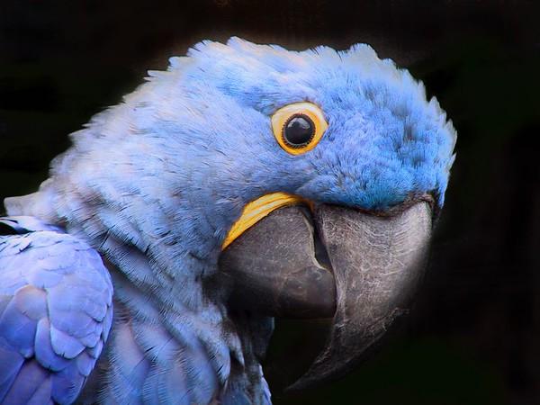 Parrots - Pappagalli