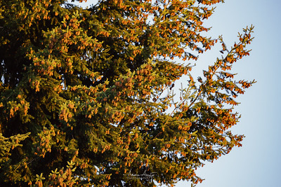 Pine Cones September 2020
