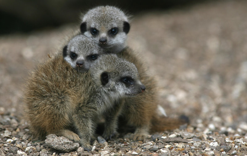 . The three baby meerkats cuddle in the cold at Bristol Zoo in Bristol, England. The four-week-old new arrivals, two boys and a girl, were being well looked after by the other four adult meerkats and are already proving a hit with visitors. Meerkats are quite lively and sociable animals, carnivores and belong to the family of mongooses, but can only be found in Southern Africa, in places like the Kalahari Desert, Namibia and Botswana.  (Photo by Matt Cardy/Getty Images)