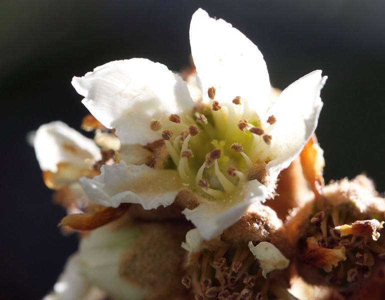 loquat blossom