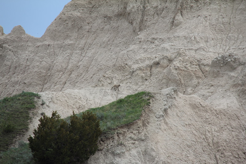 20140523-142-BadlandsNP-MountainGoats.JPG