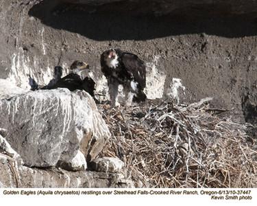 Golden EaglesN37447.jpg